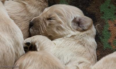 Mayzie Puppies - 2 weeks