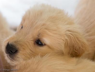 Mayzie Puppies June 5