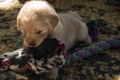 Mayzie Puppies May 22