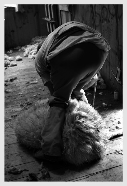 Sheep Shearer Wellington 2008