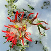 Paintbrush in Snow