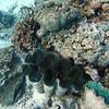 Clams, snorkeling Aitutaki Lagoon