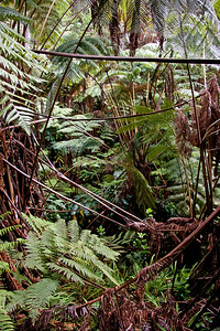 Rainforest near Thurston Lava Tube
