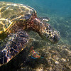Green Turtle, Snorkeling at Kapalua Bay.