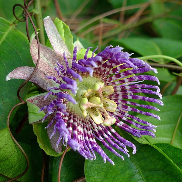 Passionfruit vine flower at one of the stops.