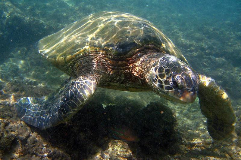 Green Turtle, Snorkeling at Kapalua Bay.
