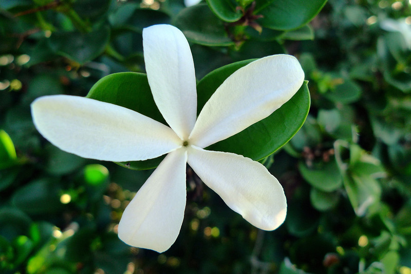 Gardenia flower on the coastal trail.