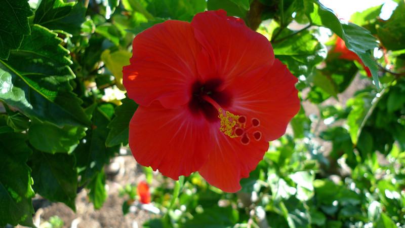 Hibiscus flower on the coastal walk.