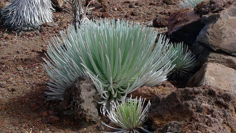 Silversword plant on Mt. Haleakala.