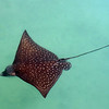An Eagle Ray in Kahapapa fish pond at 'A' Bay.