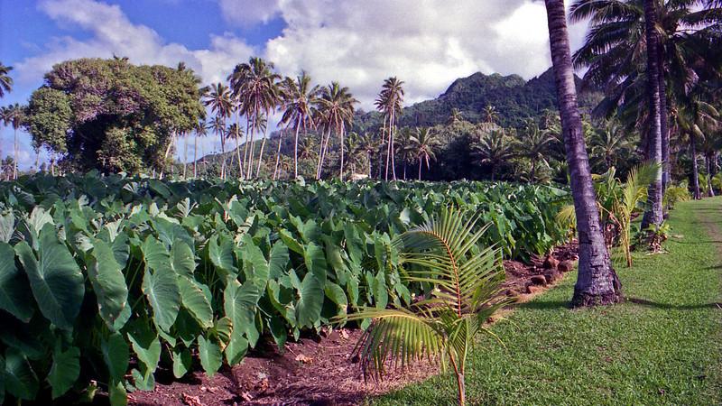 Taro crop on Rarotonga.