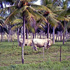 Santo beef in the coconut groves. It is very sought after beef.