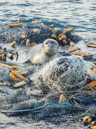 An endangered, endemic Hawaiian monk seal resting atop a massive derelict net in Pearl and Hermes Atoll, Papah