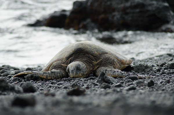 Basking green turtle, black sand beach, Hawaii