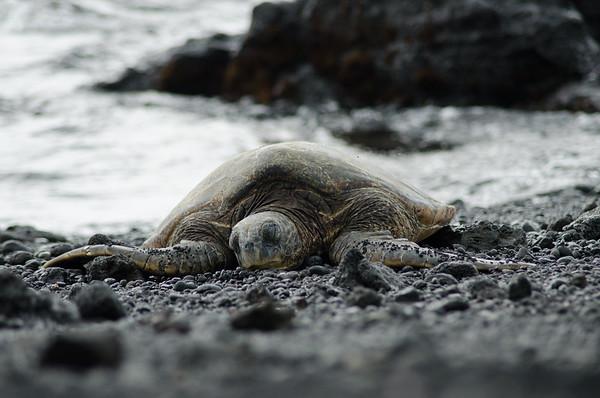 Basking green turtle, black sand beach, Hawaii