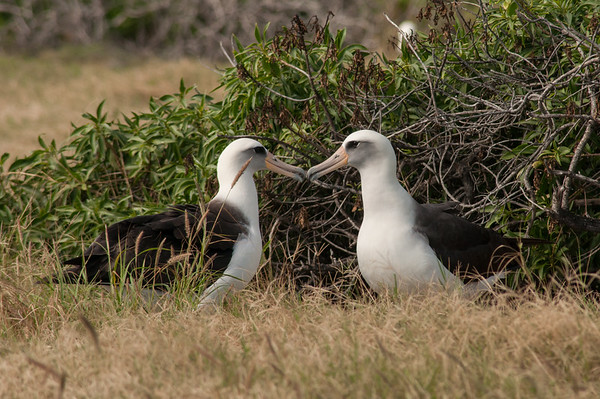 Laysan Albatross in Ka'ena Point State Park, Oahu