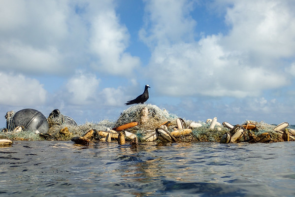 A brown noddy perched on a massive derelict net in Pearl and Hermes atoll, in Papahānaumokuākea Marine National Monument