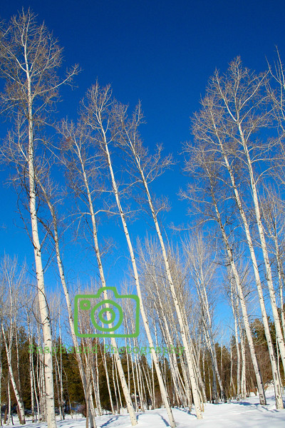 Silver Birch, Leavenworth, Washington