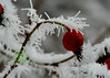 Hoar Frosted  Berries