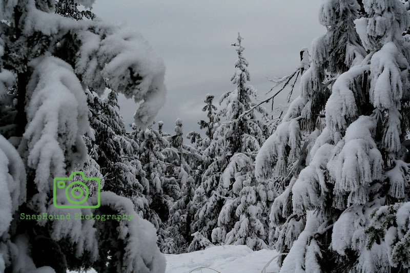 Snow Laden Pines