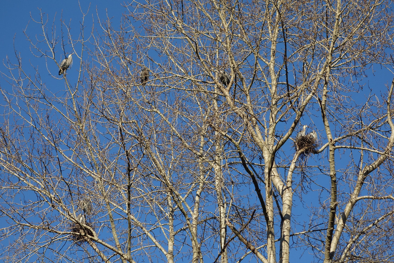 Blue herons.