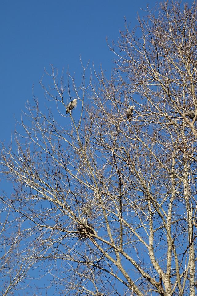 Blue herons
