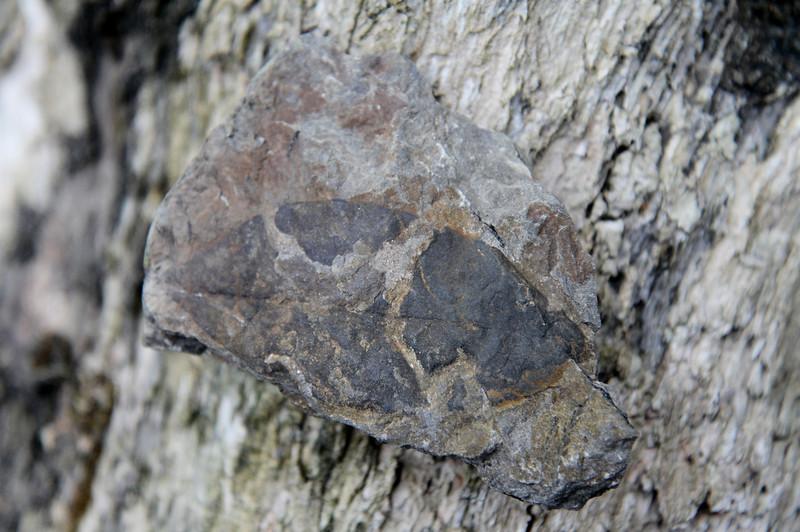 Leaf fossil I found.
