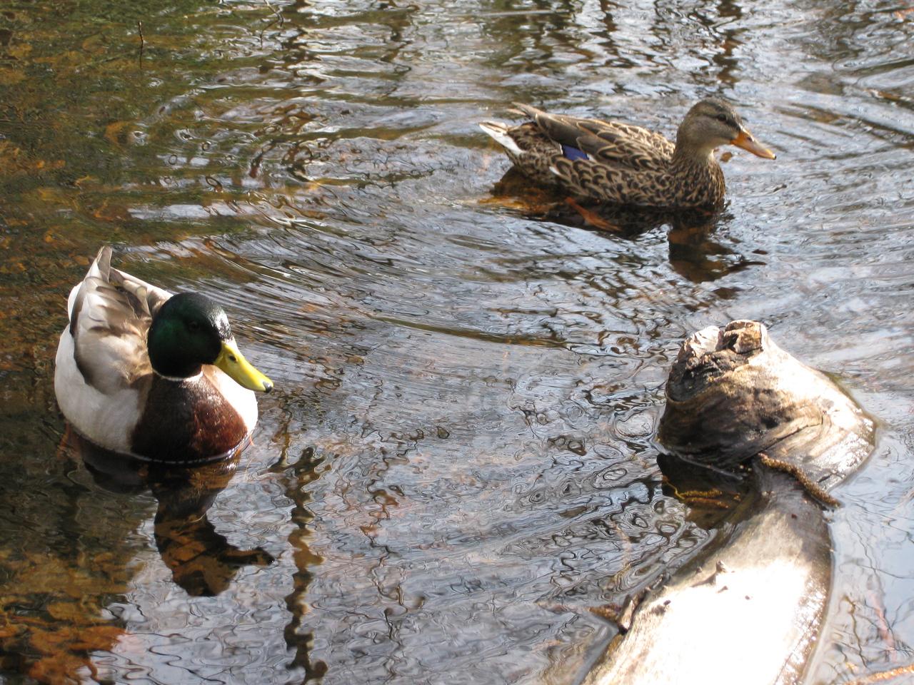 Campus ducks. I call them Bill & Melinda.