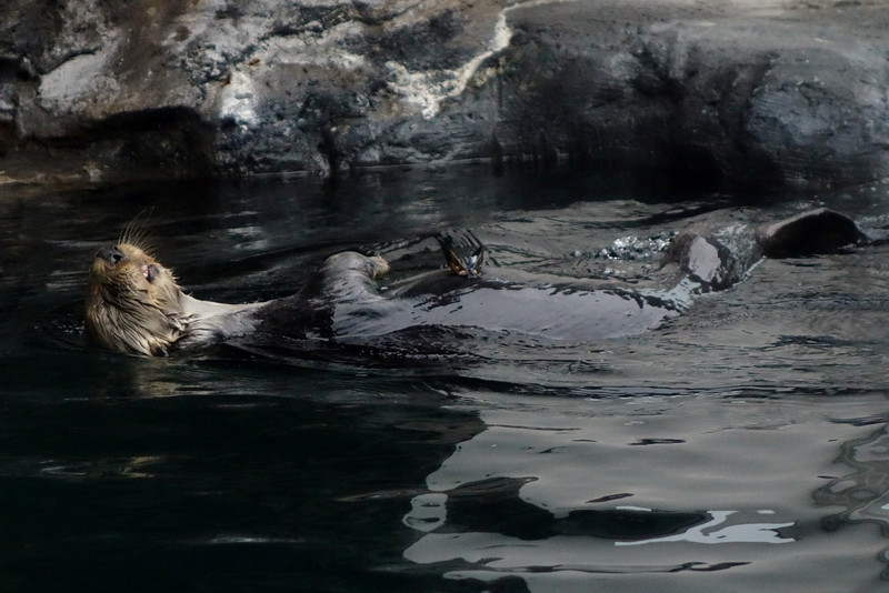 Chillin' sea otter.
