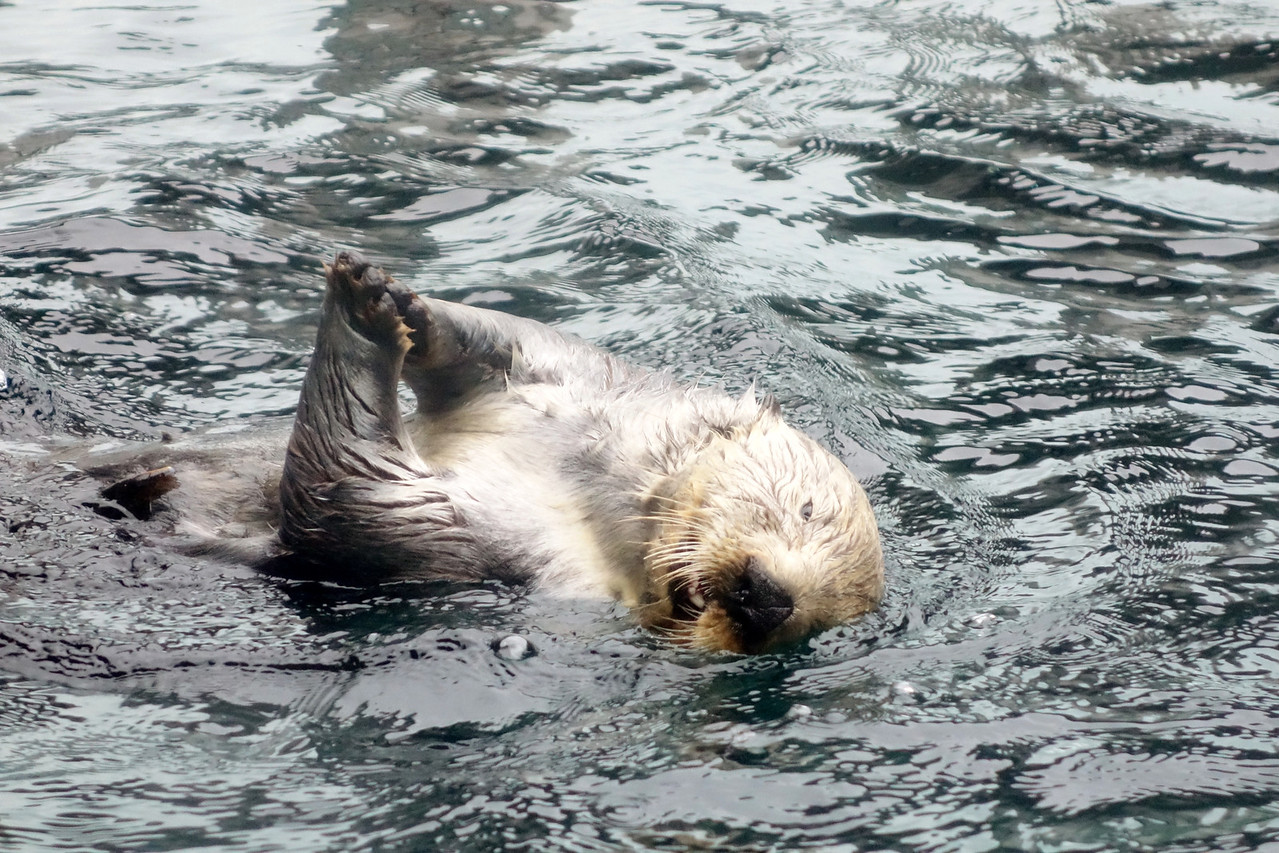 Applauding sea otter.