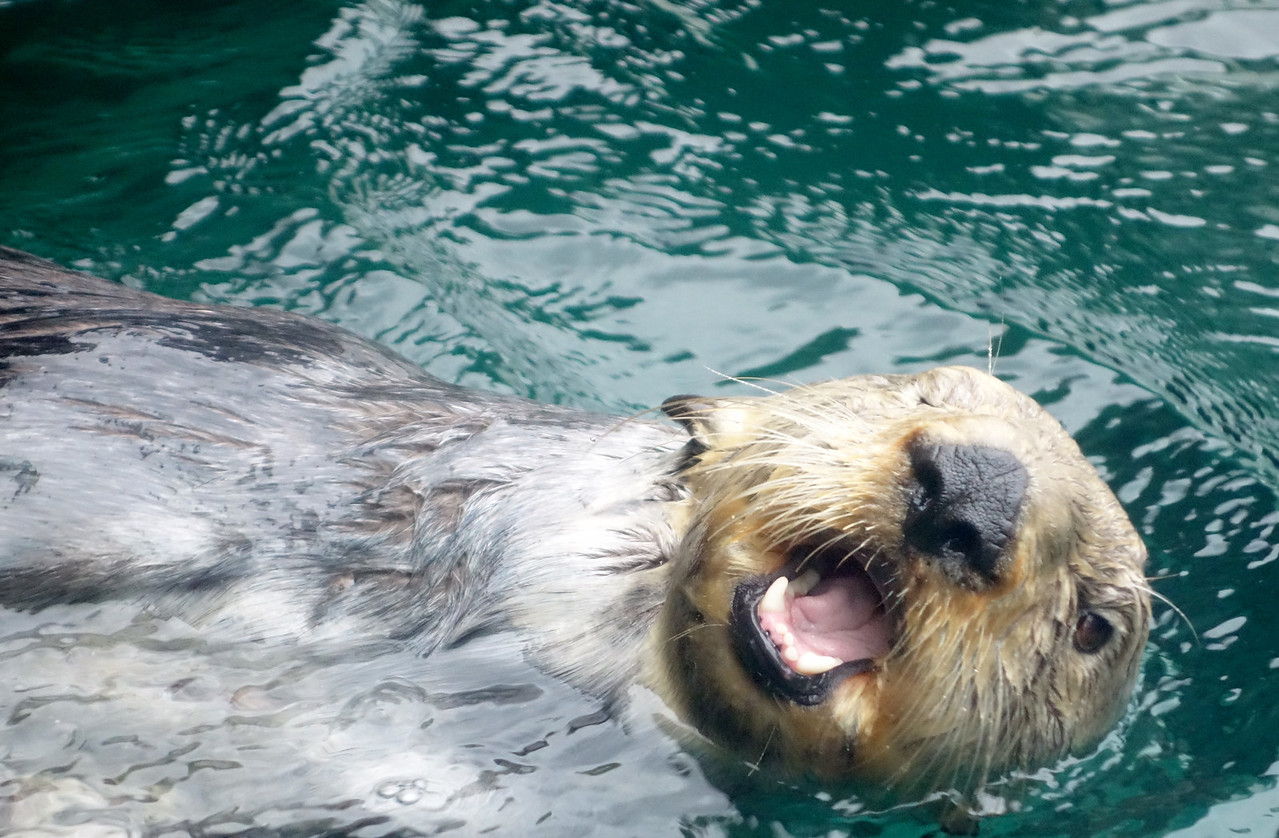 Smiley sea otter.