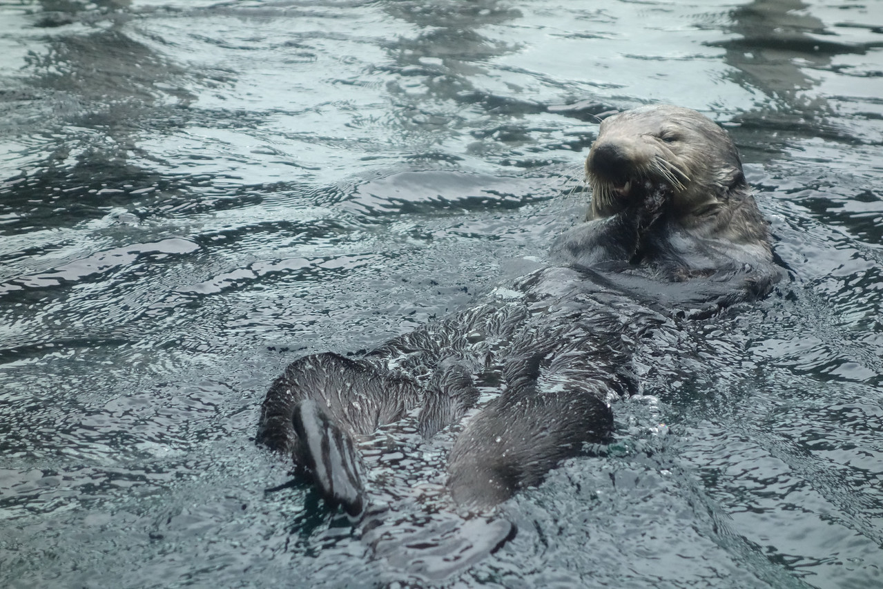 Giggling sea otter.