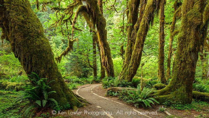 Hoh Rainforest trail