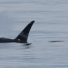 Orcas near Olympic Peninsula
