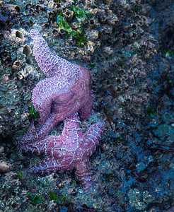 Magenta Starfish at Strawberry Hill
