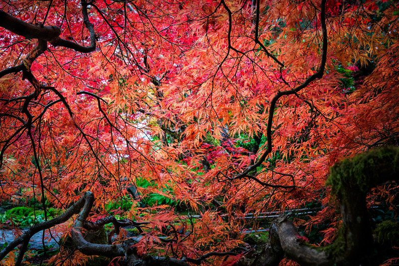 Japanese Maple at Butchart Gardens