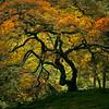 Japanese Garden Maple, Portland, OR