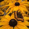 Banff Butterfly