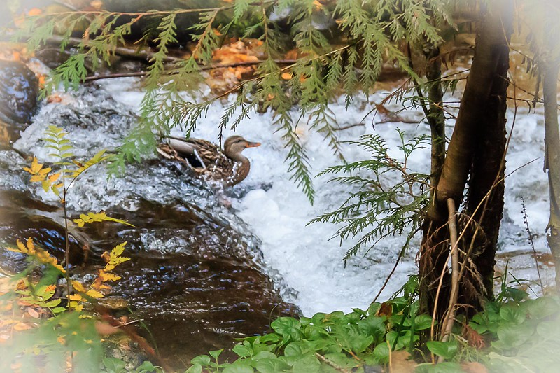 Duck over the falls3