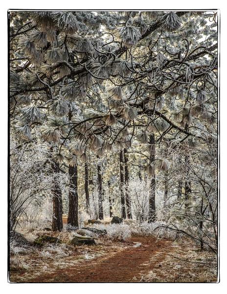 Frosty trees in Hamblen Park, Spokane