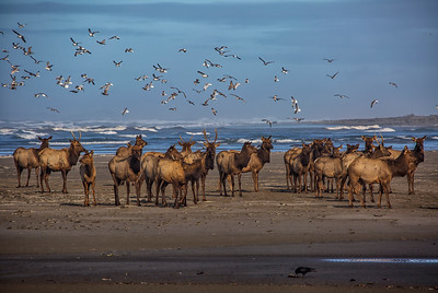 Elk and Seagulls on the Beach