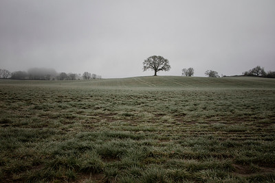 Lone Oak near Lafayette Oregon Foggy Morning