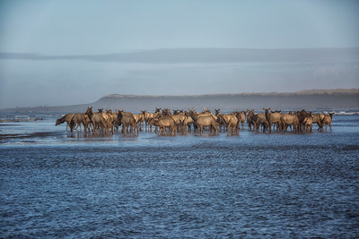 Elk Herd Wading on the Beach