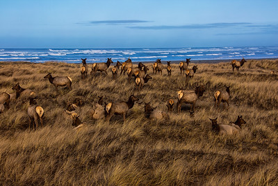 Elk at the Beach