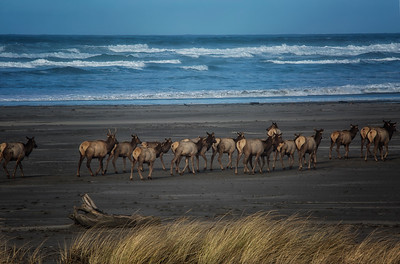 Elk Taking a Walk on the Beach