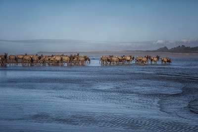 Elk Herd Preparing For a Swim