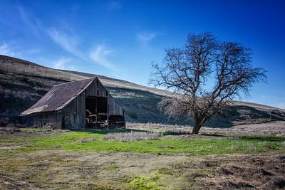 Old Barn and winter cottonwood tree Hwy 12 Palouse near Dusty WA 3-23-17
