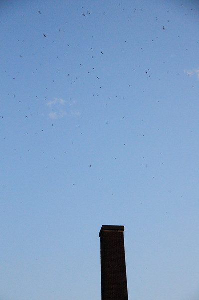 A little before 7:30 pm, more swifts have arrived and are swirling overhead.  (Best viewed by clicking on the xlarge popup for the photo.)<br /> They are not yet entering the chimney.