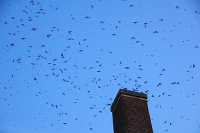 Vaux's Swifts - Monroe, WA 9-02-09