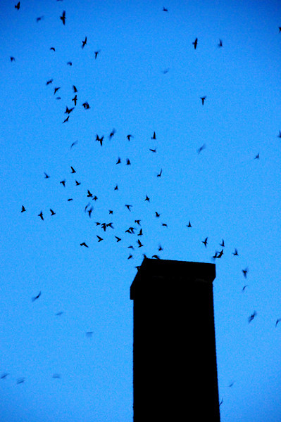 As the flock outside the chimney begins to thin, the column entering the chimney forms a more orderly pattern.